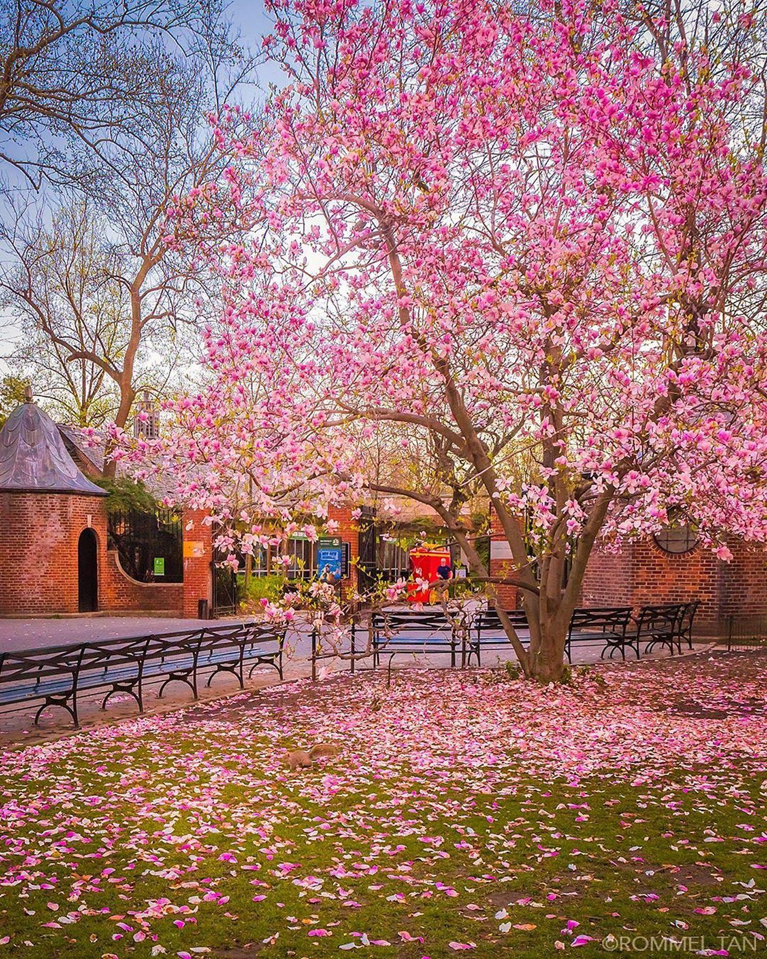Magnolia Tree, Central Park Zoo, Manhattan