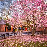 Magnolia Tree, Central Park Zoo, Manhattan