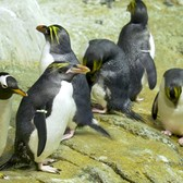 Macaroni Penguins on Exhibit | Central Park Zoo