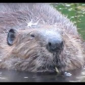 Busy NYC beavers build their dam over and over again
