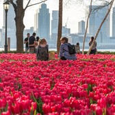 Tulip garden outside Brookfield Place, a destination for shopping, dining, arts and events in Lower Manhattan.
