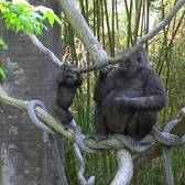 Gorilla Toddlers on Exhibit | Bronx Zoo