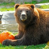 While you're strolling through the zoo, keep an eye out for our big bears enjoying big pumpkins! http://t.co/NiymRlliLY
