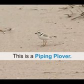 WildlifeNYC: Tips for Sharing the Beach with Plovers