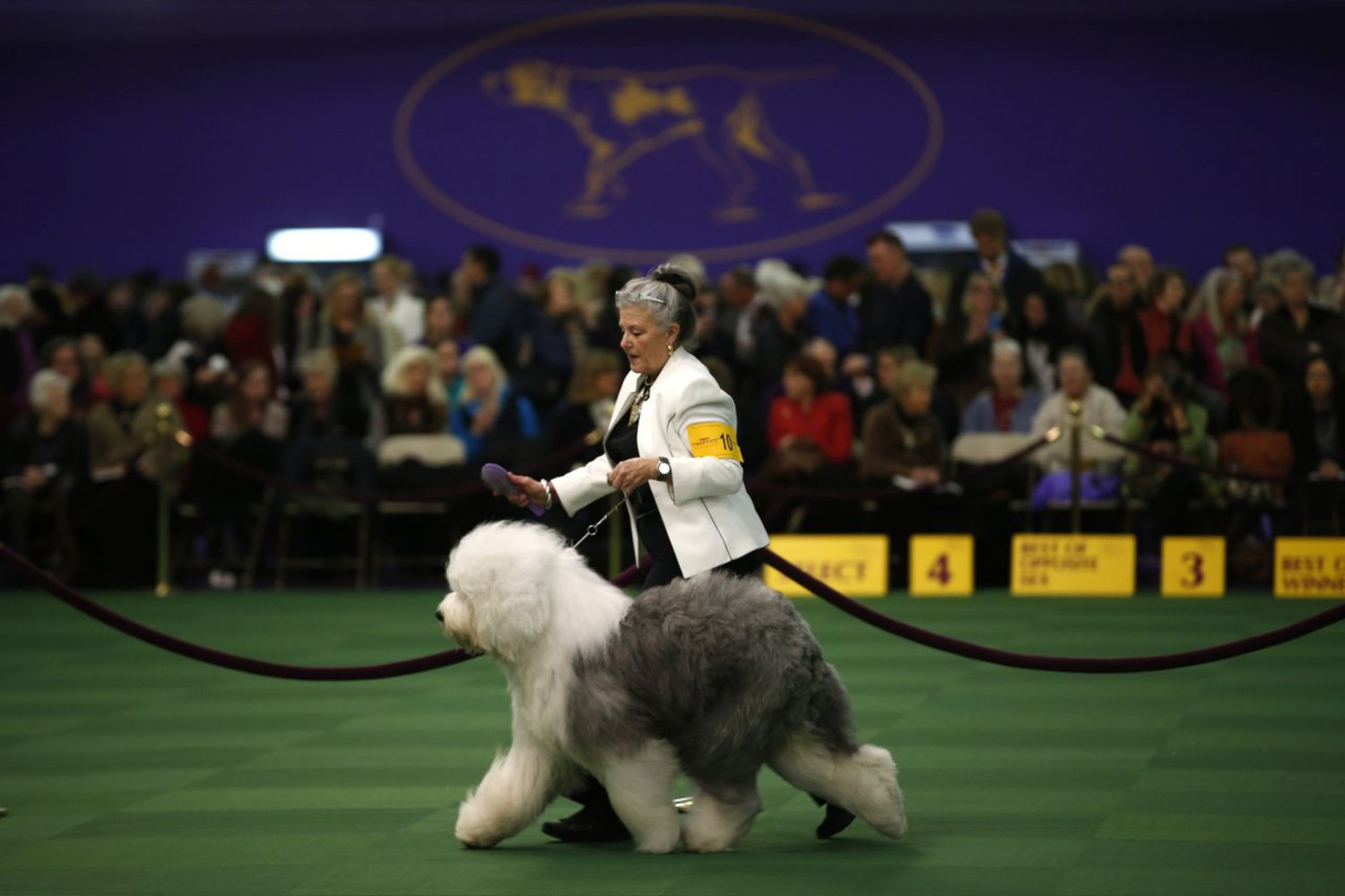 Enid Fritz from Dallas, Texas, runs her Old English Sheepdog named Dizzy during competition in the Herding Group at the Westminster show on February 16, 2015.