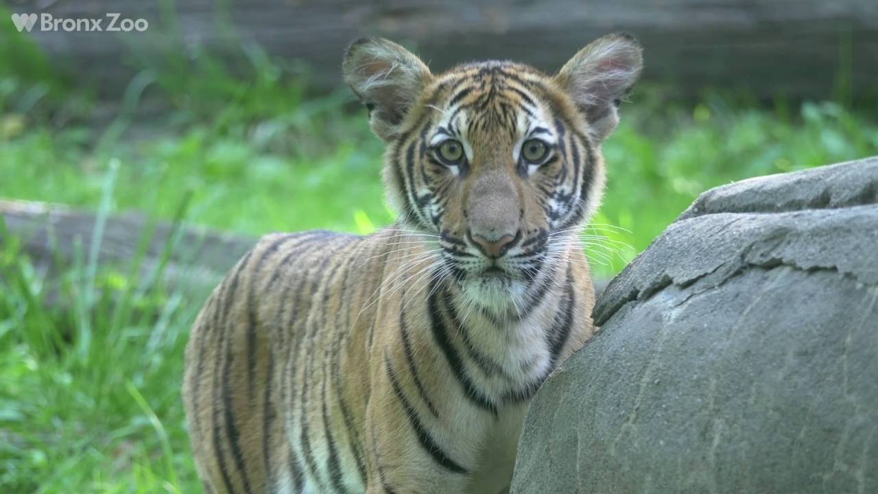 Two Malayan Tiger Cubs Make Their Super-Cute Debut at the ...