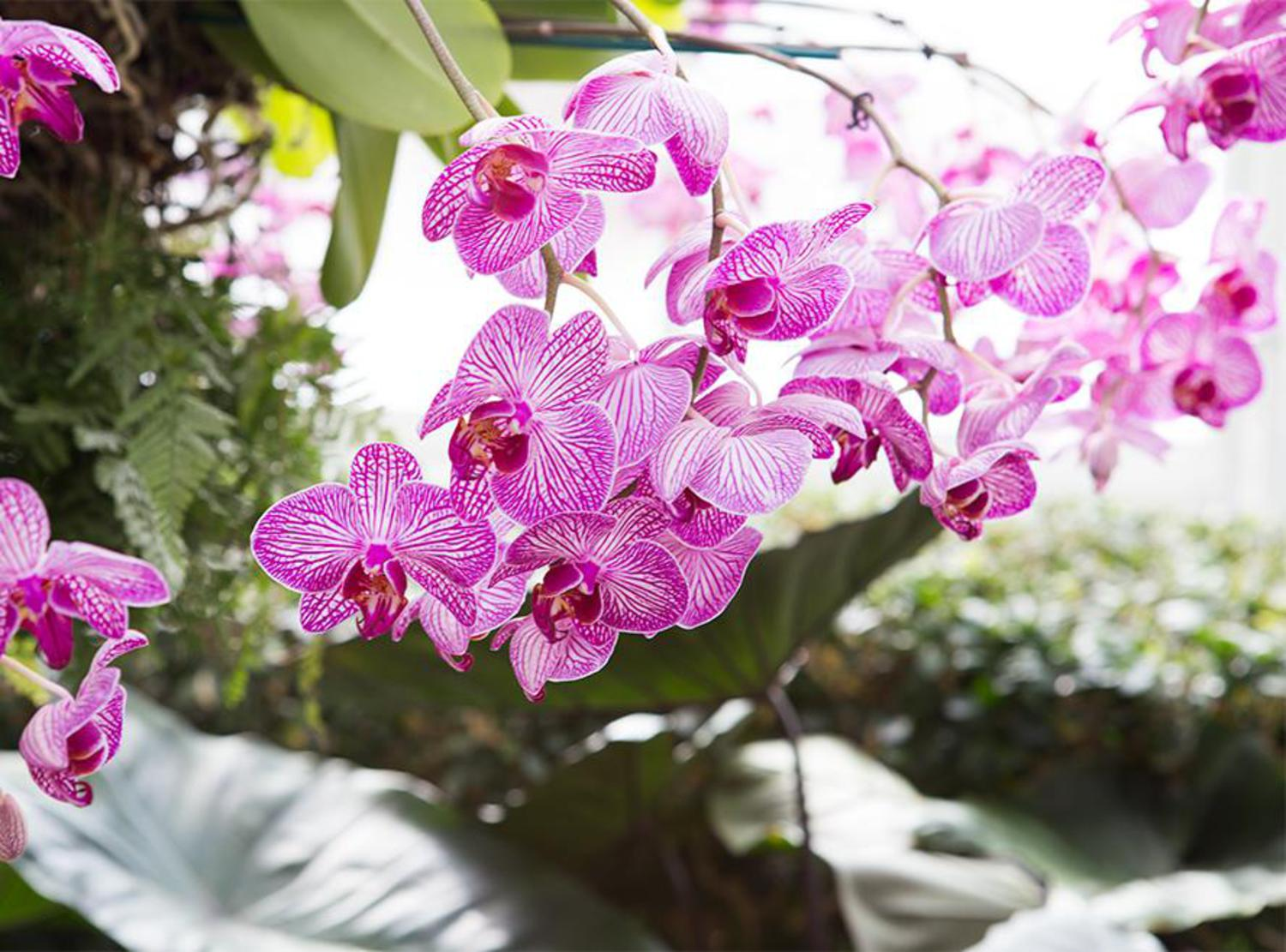 "Orchids are unlike any other plant. ""There are orchids that attach themselves to tree branches,"" said Hachadourian. ""The idea that an orchid is so difficult and delicate, but really can hang off the branches in the tropics and bloom makes them seem like they're extreme plants."""