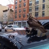 Red Tailed Hawk eating a pigeon in NYC