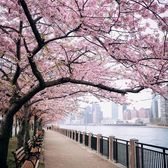 Cherry Walk, Roosevelt Island, Manhattan