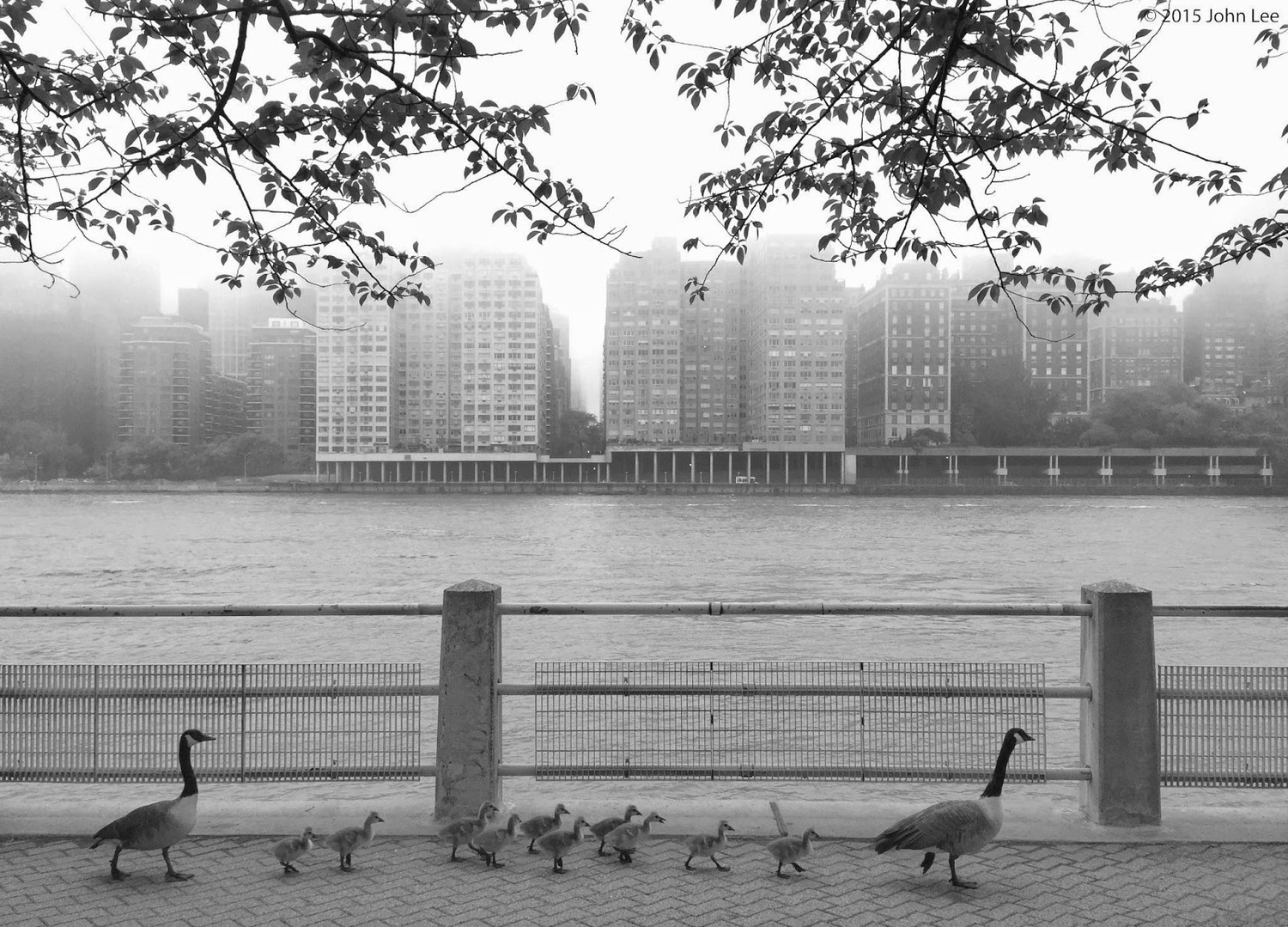 Roosevelt Island duck family strolls East River Promenade on a foggy morning today