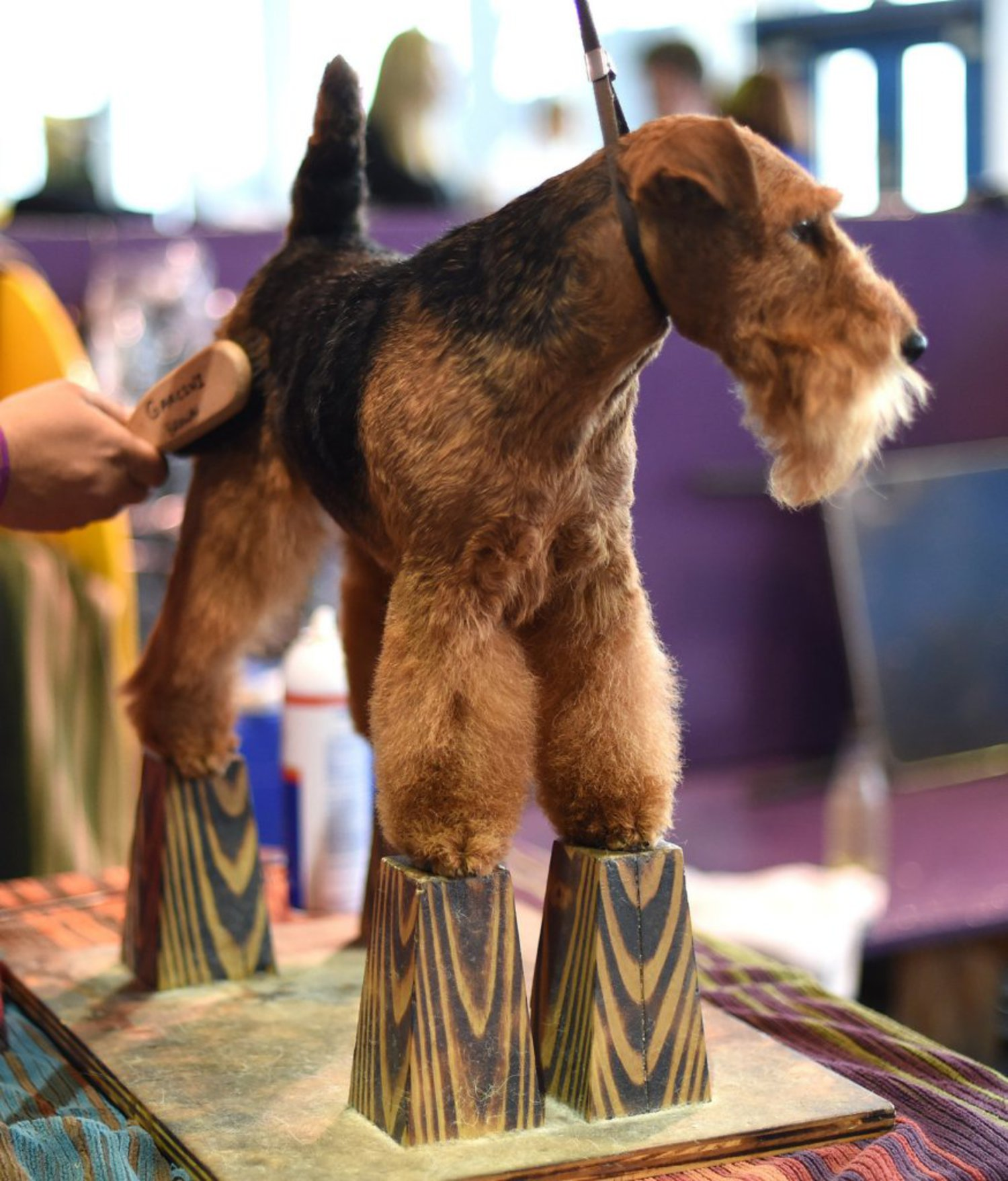 A Welsh Terrier stands on blocks during grooming in the benching area around Pier 92 and Pier 94 in New York City on the second day of competition at annual Westminster show, February 17, 2015.