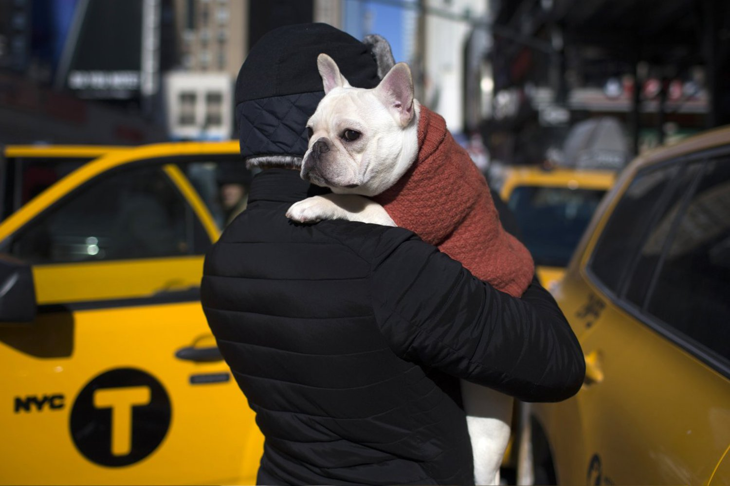 Luke, a French bulldog, is carried by his owner Paul, of New York City, outside New York's Pennsylvania Hotel ahead of the 139th Westminster Kennel Club Annual Dog Show in Manhattan, February 15, 2015.