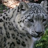 Inside the Zoo: Snow Leopards | Bronx Zoo