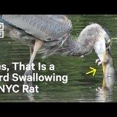 NYC Bird Swallows Entire Rat in One Gulp