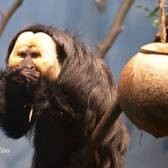 Titi Monkeys and White-Faced Saki Monkeys | Prospect Park Zoo