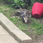 "Move over PizzaRat-Meet Astoria, Queens NYC- ""OctoPossum""!!!"