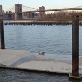 Sunbathing seal on Brooklyn Bridge Park, Pier 2