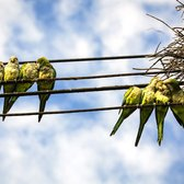 A nest of monk parrots near the home of Liz Lynch in Queens.