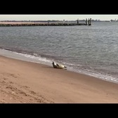 Sunbathing seal spotted at Midland Beach
