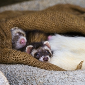 Cute sleeping ferret babies | There were young ferrets and I could take pictures of them even if they were far away, but they were cute!