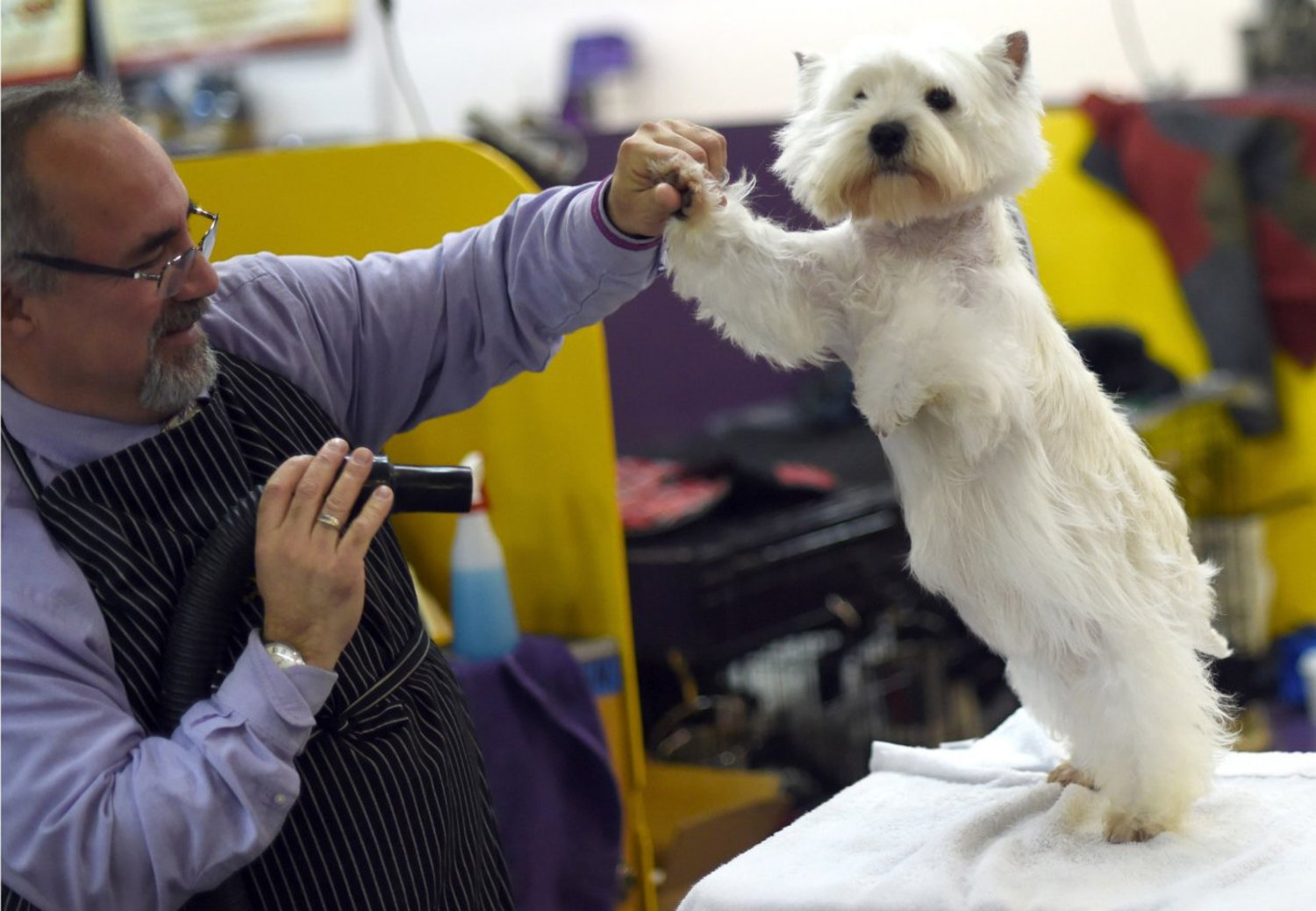 A West Highland White Terrier in the benching area in the second day of competition at the Westminster show, February 17, 2015.