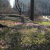 #centralparkbloomwatch2016 is going to have an awesome week! These cute crocuses were making the hearts of the posey paparazzo go pitter patter this morning. Find them just east of Balto. #centralparkmoments