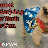 The cutest (Wonder) dog of New York Comic Con