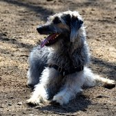 NYC Canine Encounters | Scottish Deerhound Mix: Theodore Roosevelt Dog Park