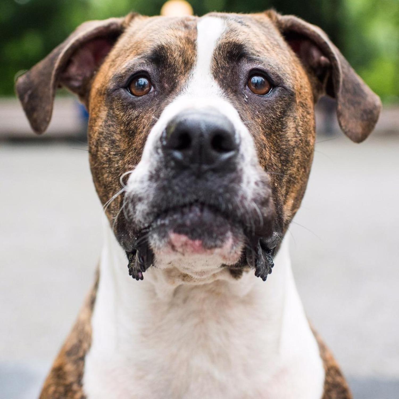 Tucker, Boxer/Pit Bull mix (3 y/o), Columbus Circle, New York, NY http://t.co/2UXluqZa4q