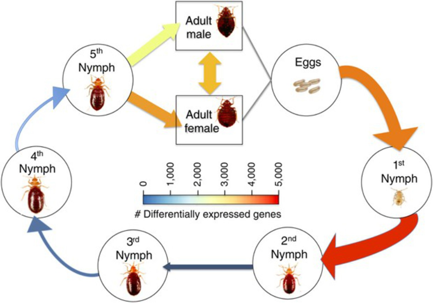 From the study, a guide to the seven stages of the bedbug life cycle. The research indicates the critters are most susceptible to pesticides when they're young.