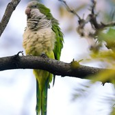 The Wild Parrots of Brooklyn