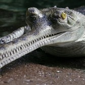 Gharial Conservation at the Bronx Zoo