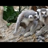 Ring-Tailed Lemur Babies and Collared Lemur Baby | Bronx Zoo
