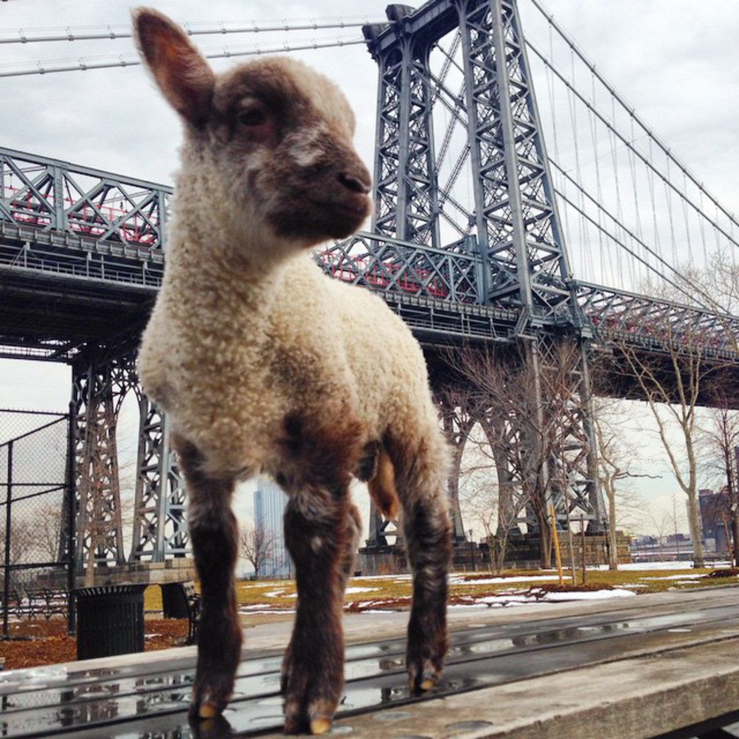 Smokey : Lamb in the City #smokeyDalamb #farmtotable #farmtocity #baa #bae #bey #beyonce #bowdownbitches #illuminati