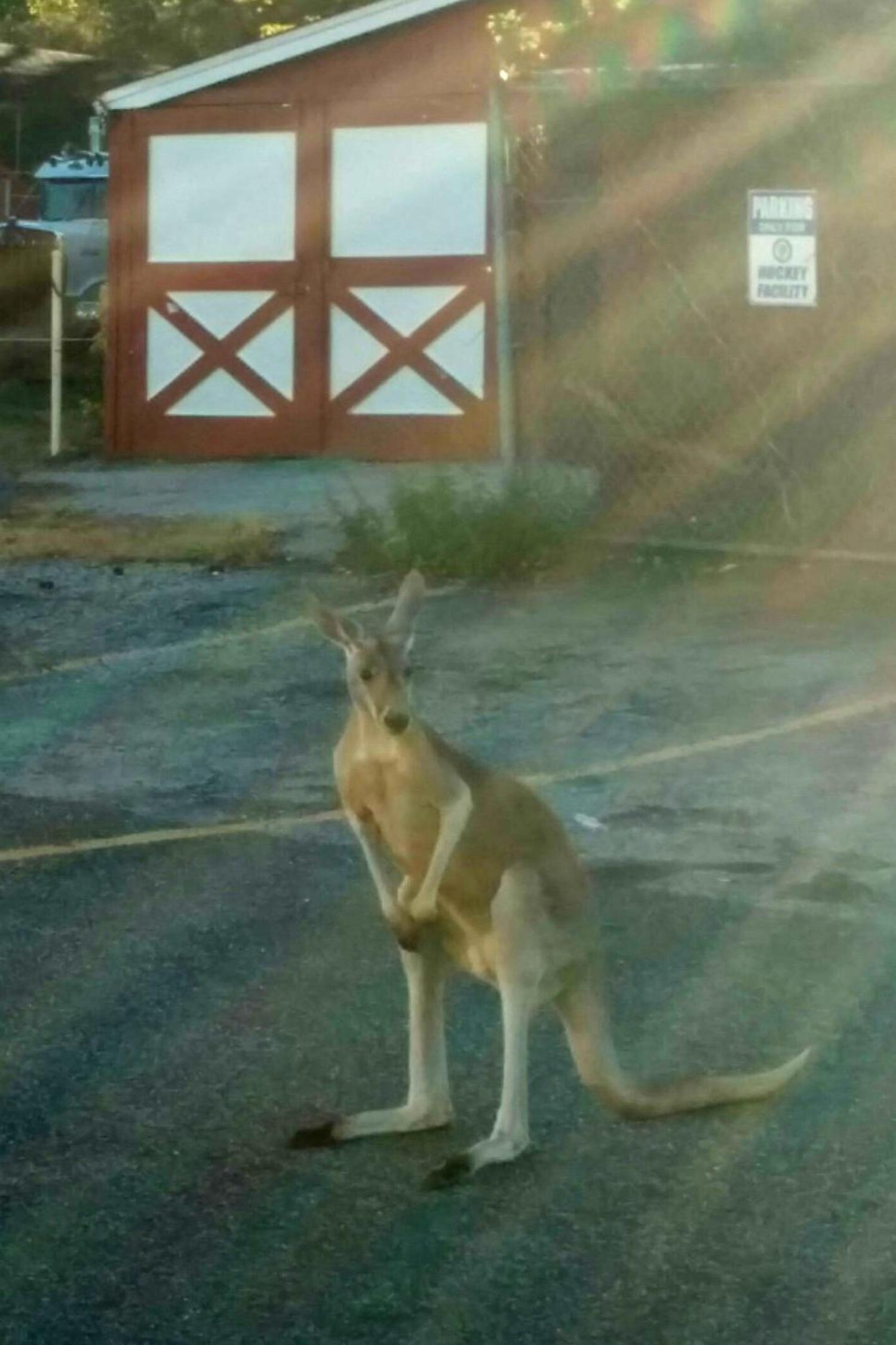 A pet kangaroo escaped from his enclosure at a Staten Island home on Saturday.