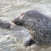 The Best 85-Second Footage Of The Inwood Seal You'll Ever See