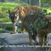 Inside the Zoo: Tiger Cubs | Bronx Zoo