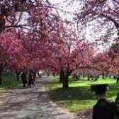 Cherry Blossom Time-lapse at Brooklyn Botanic Garden