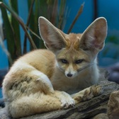One of two of the male fennec foxes that debuted this week at the Prospect Park Zoo in Brooklyn.