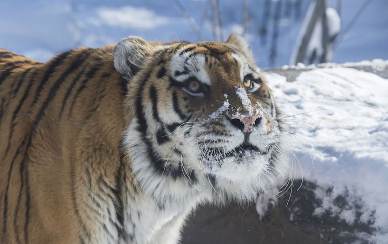 Snowy feline