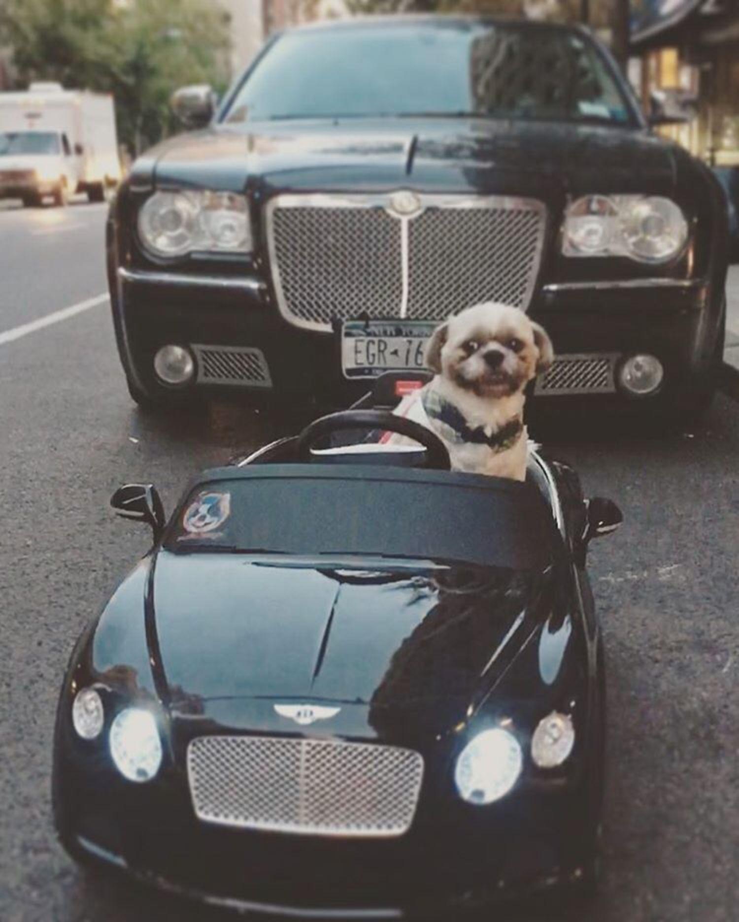 🐾Big Bentley, Baby Bentley.👶🏼Big Smile, Baby Teeth! Thank you @digitaldoggydaily we got our sticker!!! #digitaldoggydaily #shihtzu #bentley #nycdogs #dogsdrivingcars #shihtzusinbentleys #shihtzulove #petstagram #uppereastside #dogslife