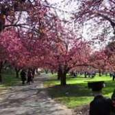 Cherry Blossom Time-lapse at Brooklyn Botanic Garden