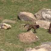 Bronx Zoo Gelada Baboon Baby 2015