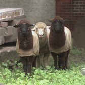 They're Baaaack! Sheep Take Up Residence At NYC Church