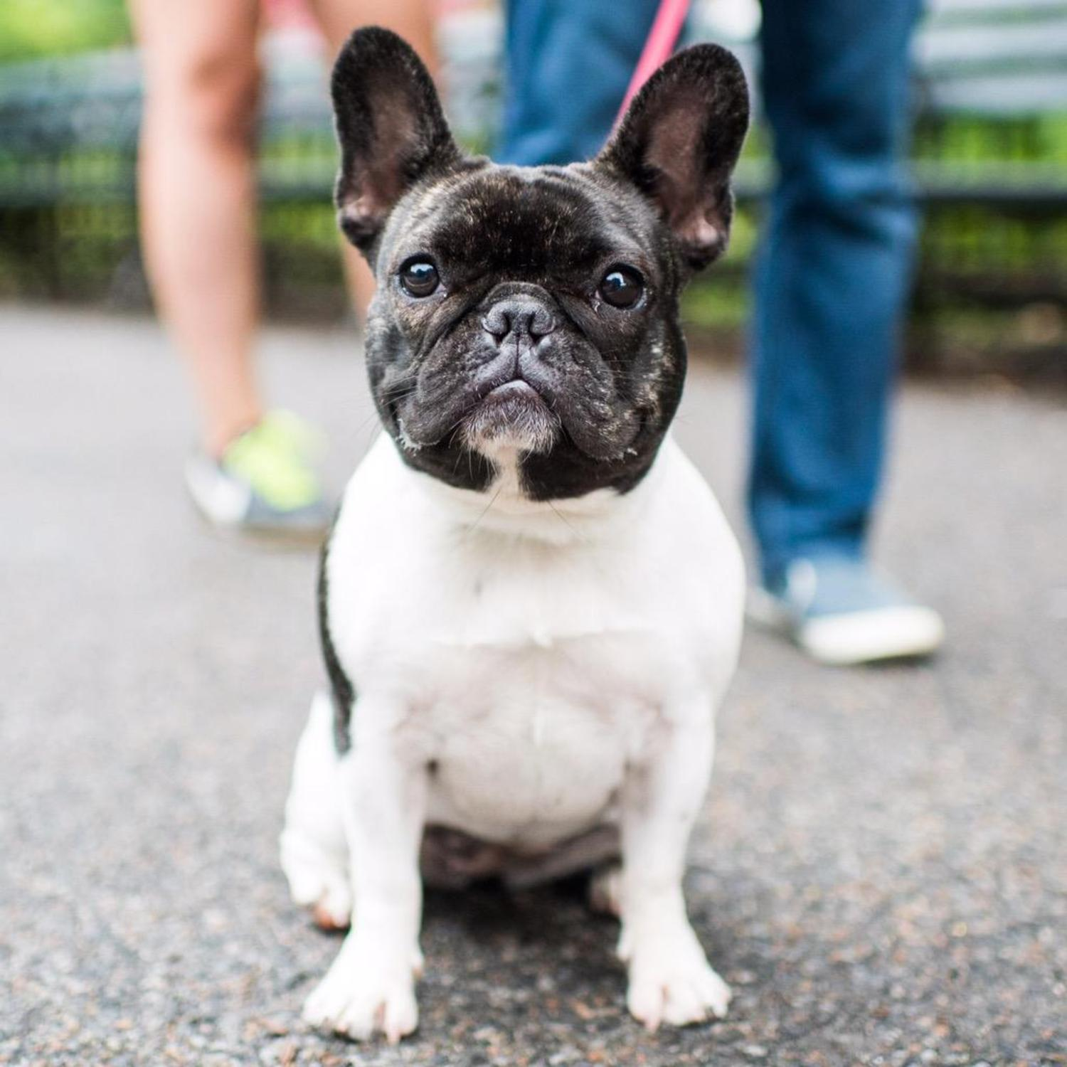 "Lilo, French Bulldog (18 m/o), Central Park, New York, NY • ""If you're a single guy, she's the best accessory."" http://t.co/Etp93KsSlz"